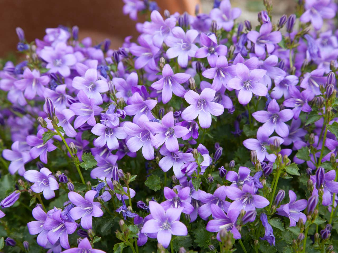 Purple flowers for your garden saga campanulas are delicate purple flowers that are ideal for a cool colour scheme mightylinksfo