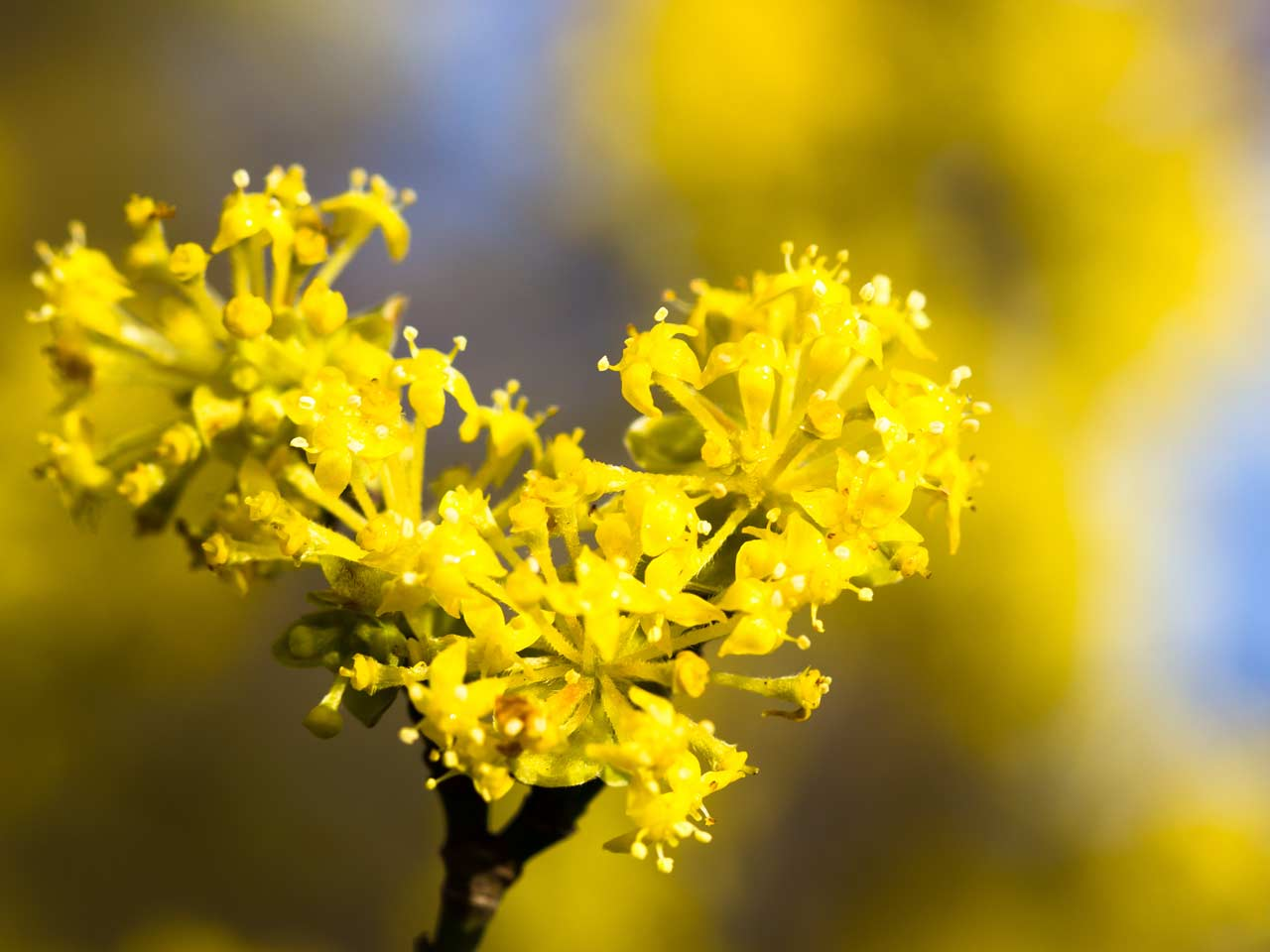 Yellow flowers for your garden saga campus mas the cornelian cherry is a flowering shrub that provides spring colour mightylinksfo