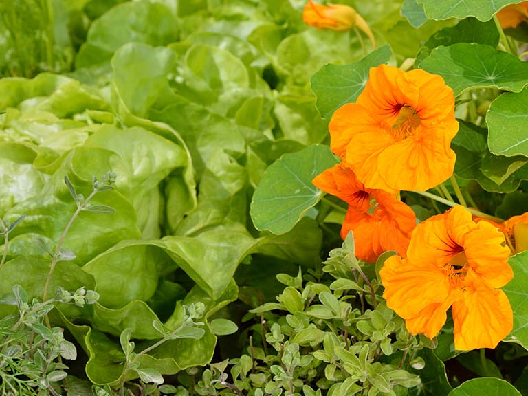 Nasturtiums planted with lettuces
