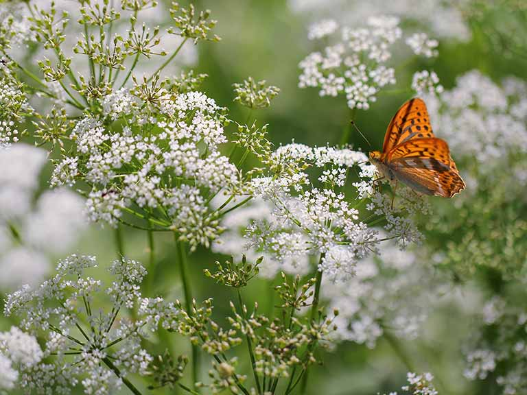 How And Where To Grow Umbellifers Amp Frothy Plants Saga