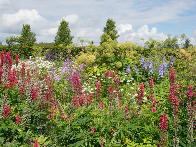 Lupins, delphiniums, phlox and ox eye daisies in a herbaceous border