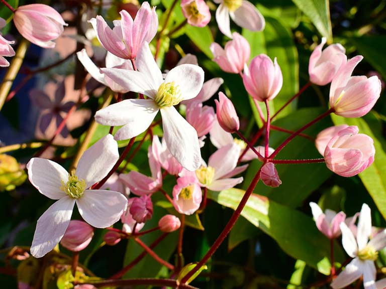 Clematis armandii 'Apple Blossom