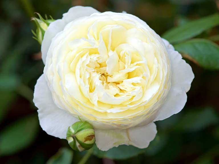 Scented plants flowers shrubs for a sunny garden saga rose claire austin mightylinksfo