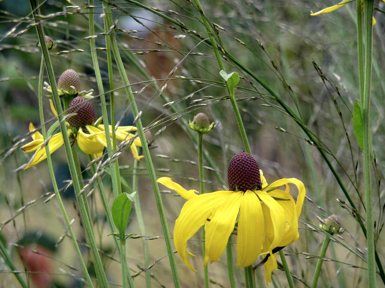 Pairing Tall Perennials With Tall Grasses Saga