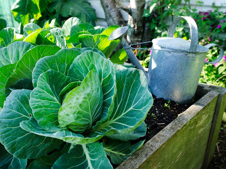Cabbages in the garden