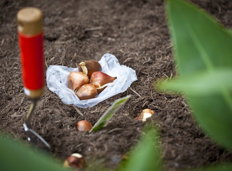 Tulip bulbs ready to be planted