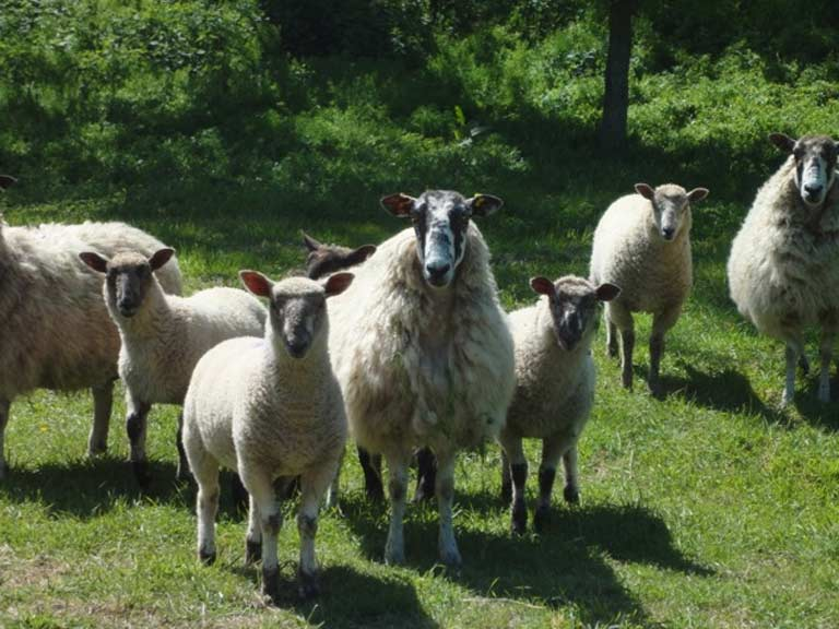 The neighbouring sheep