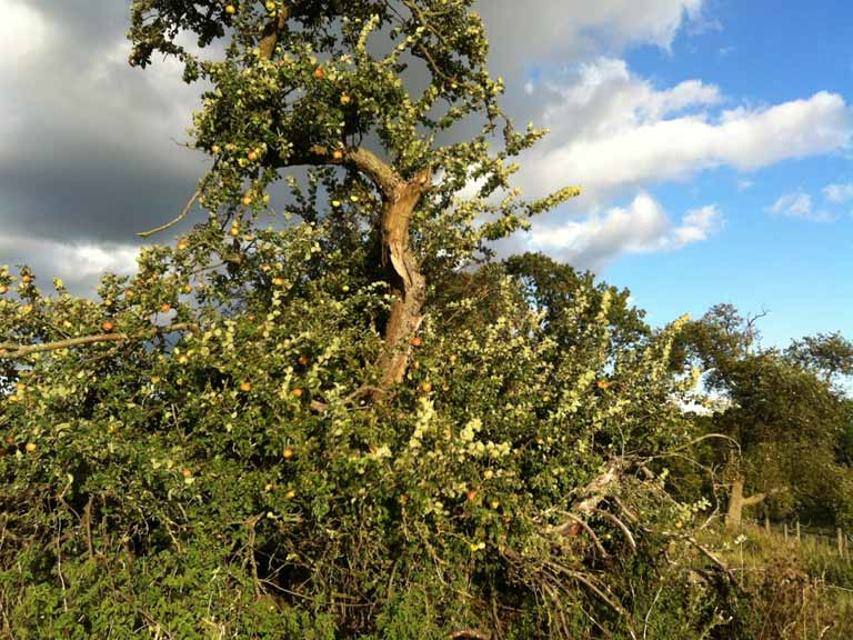 The very old apple tree before pruning