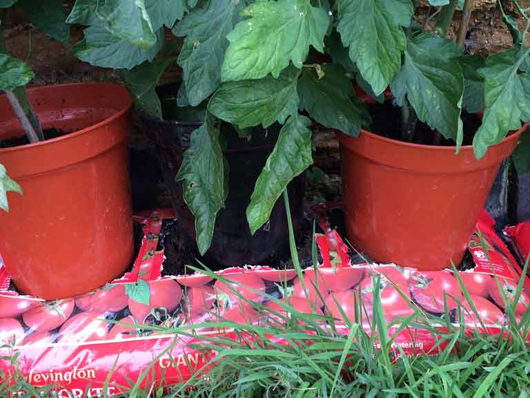 A hole cut into the bottom of a pot is ideal for growing tomatoes on top of a grow bag