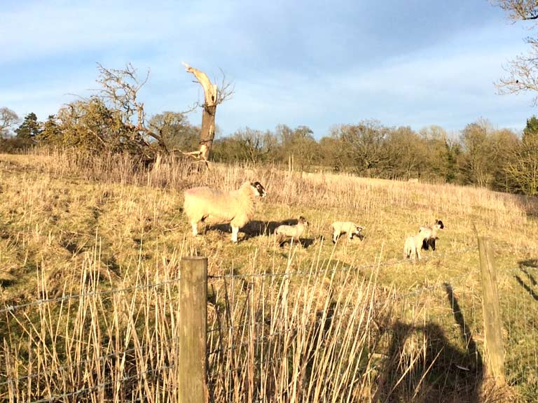 The spring lambs by the Sheep Garden