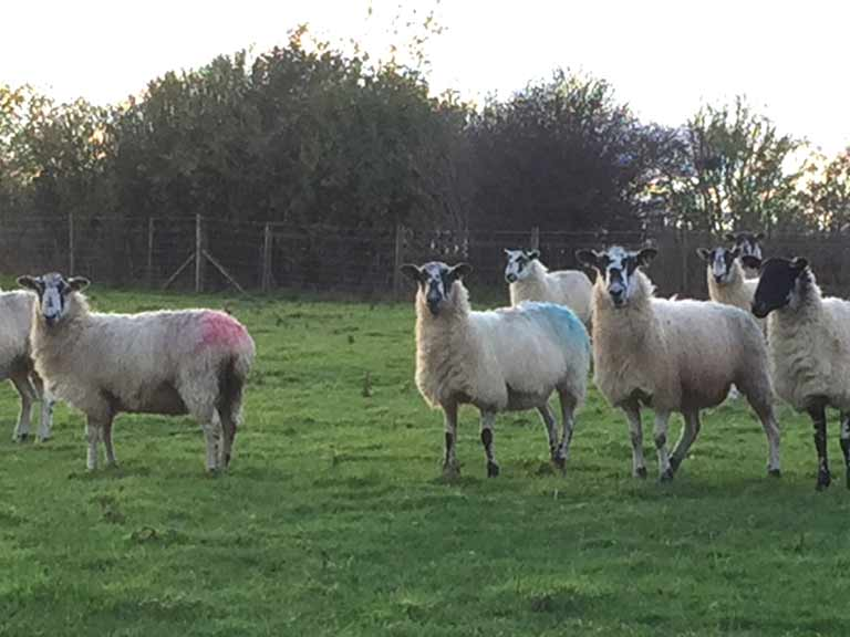 Ewes recently tupped