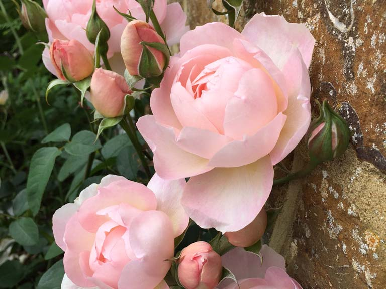 Climbing rose 'Gentle Gertrude' on a brick wall