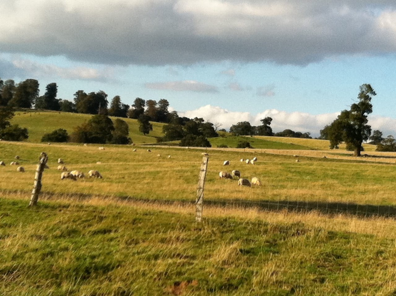 Sheep field in summer