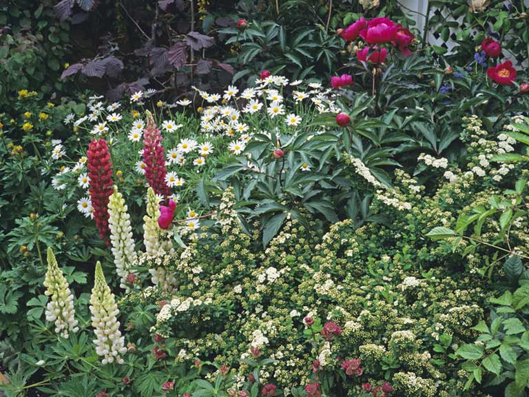 Lupins, peonies and daisies in a cottage garden