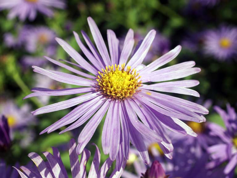 Aster x frikartii 'Monch' AGM