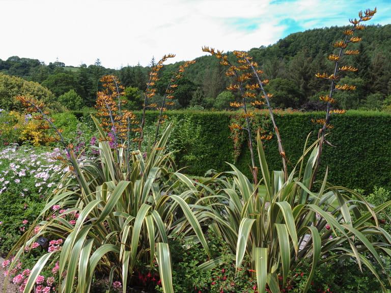 Mountain Flax In A Coastal Garden