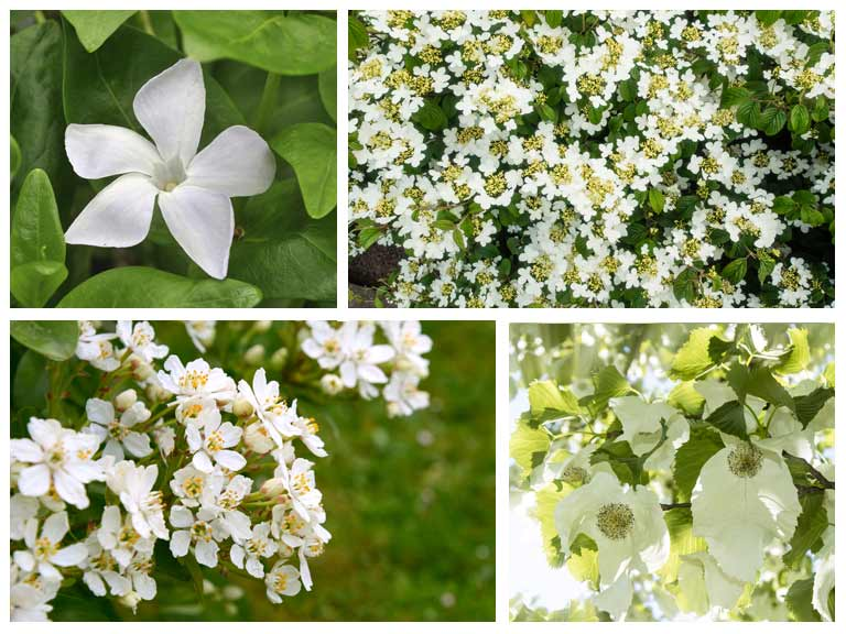White woodland flowers
