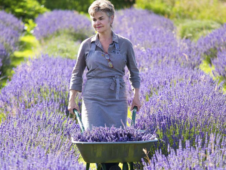 Nancy Durham at work on the lavender farm