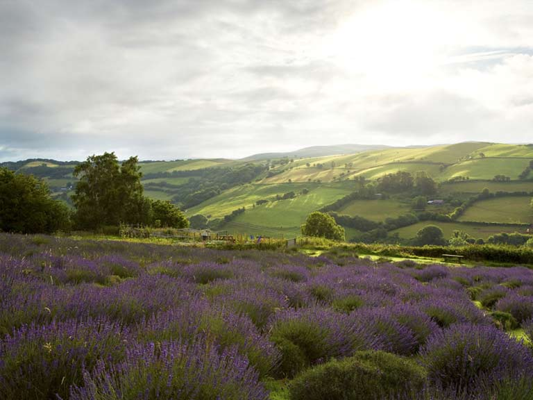 Welsh Lavender Farm