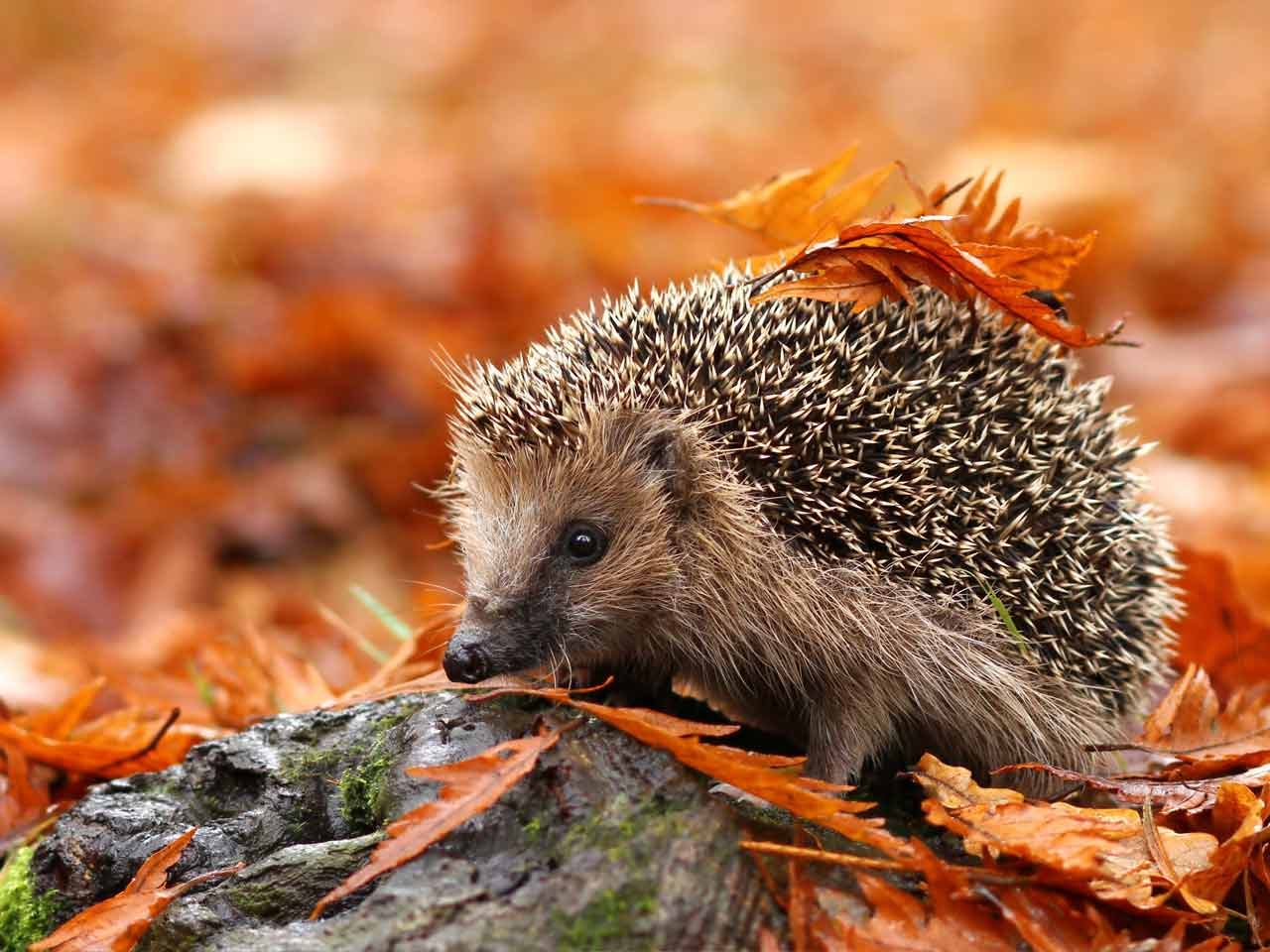 How To Help Hedgehogs Eight Essential Tips Saga