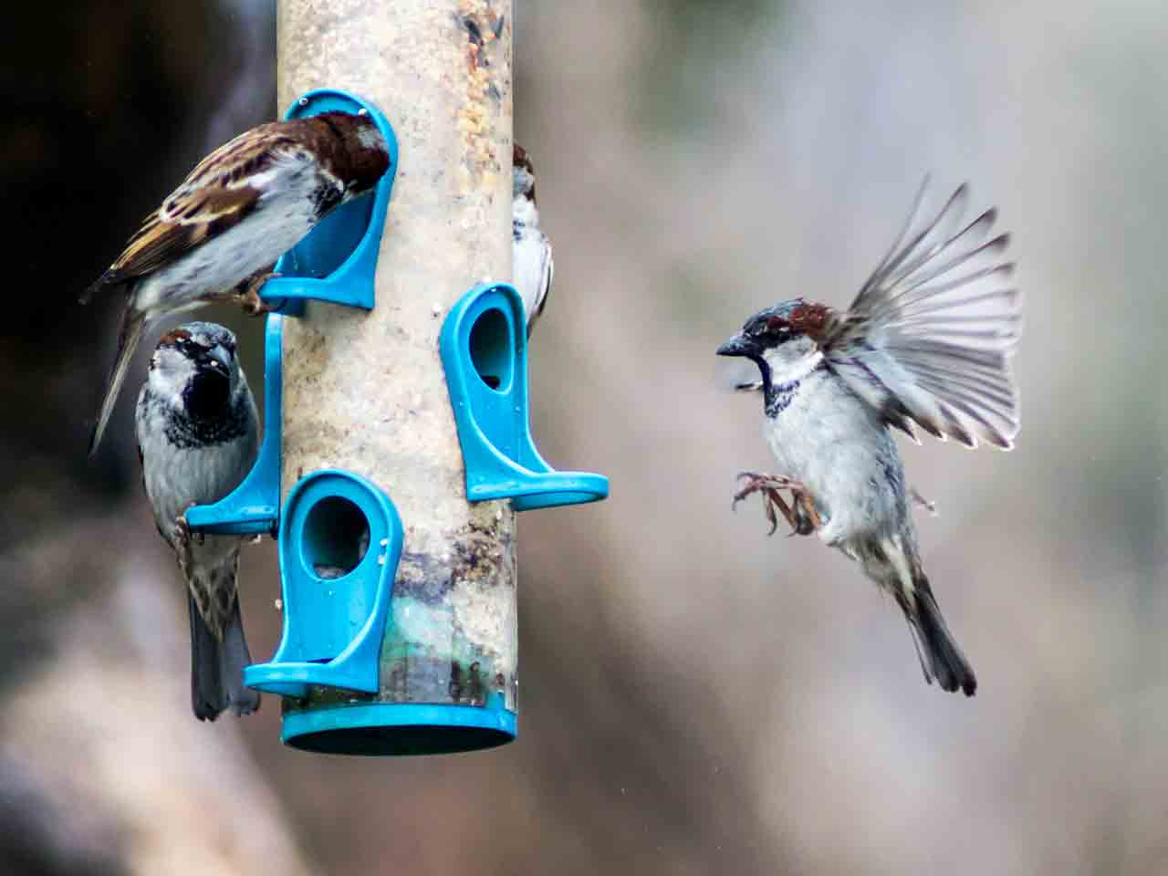 House sparrows feed on a garden feeding station