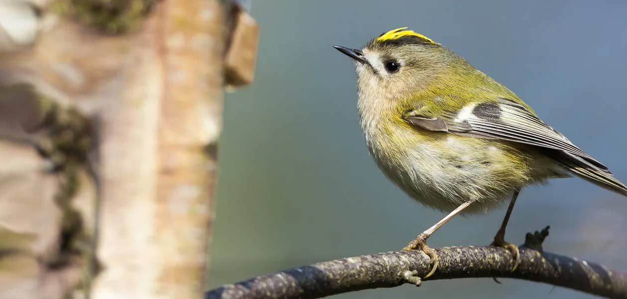 British Garden Birds Saga