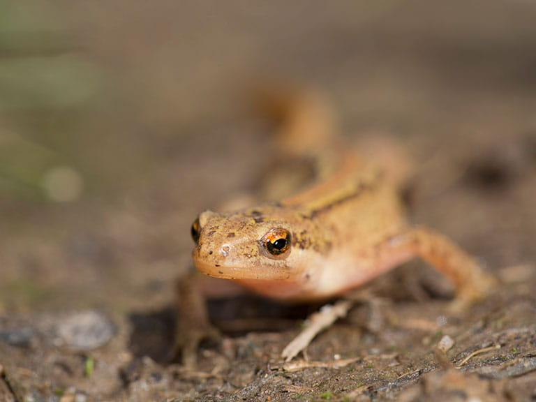 Delightful A Palmate Newt By David Chapman