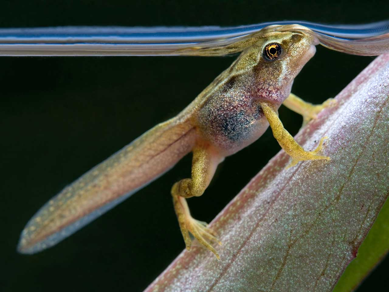 Tadpole to frog: development stages & metamorphosis - Saga