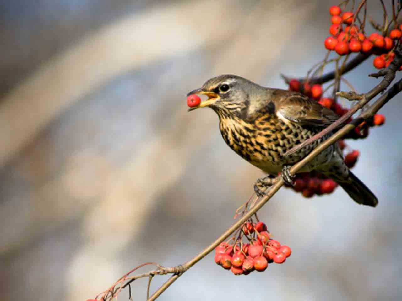 Cold weather Fieldfare