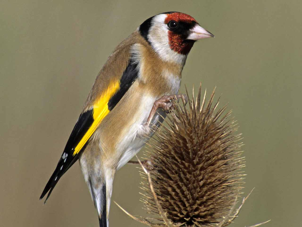Everything To Know About Goldfinches In The Uk Saga