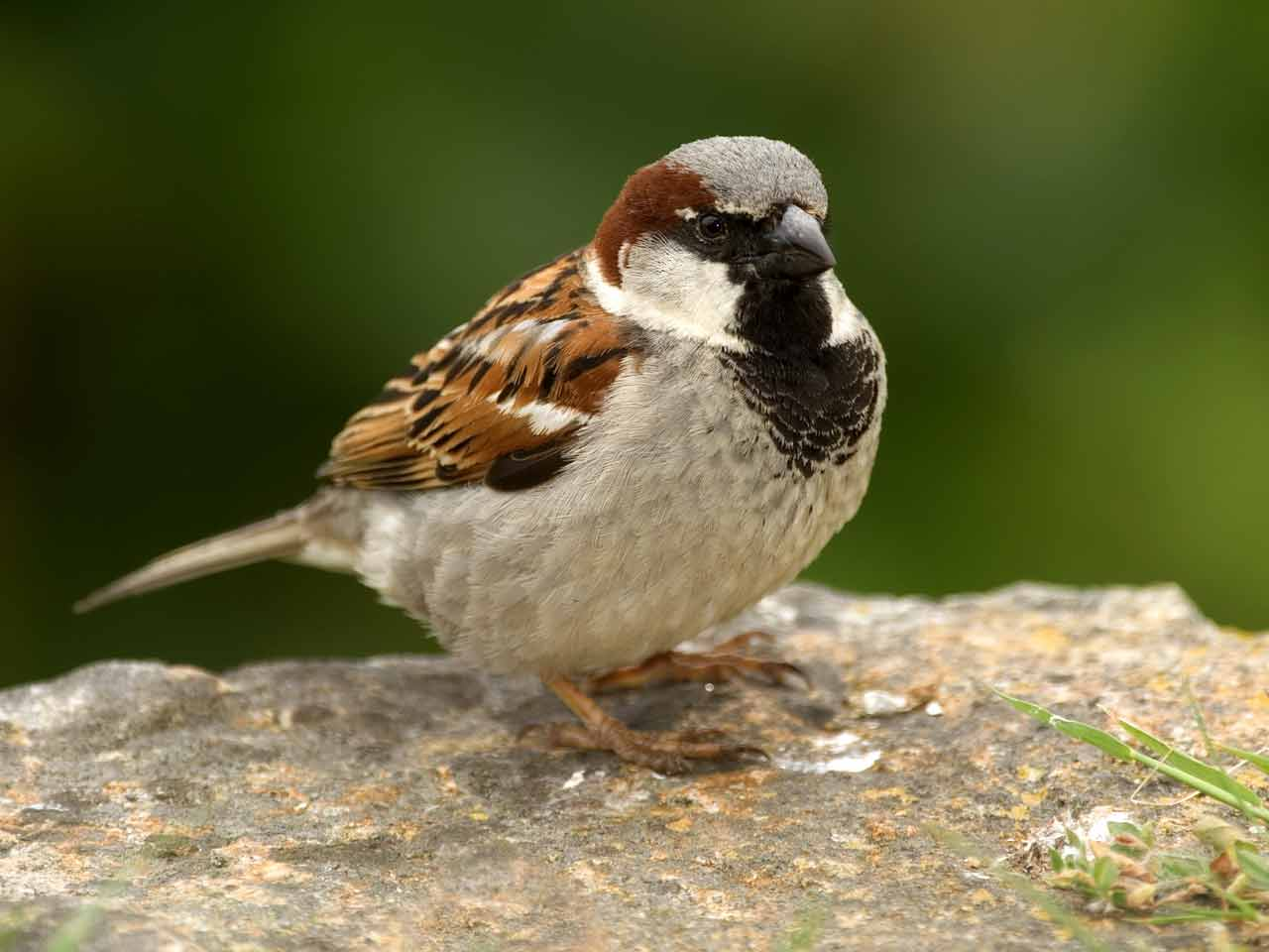 Image result for house sparrow