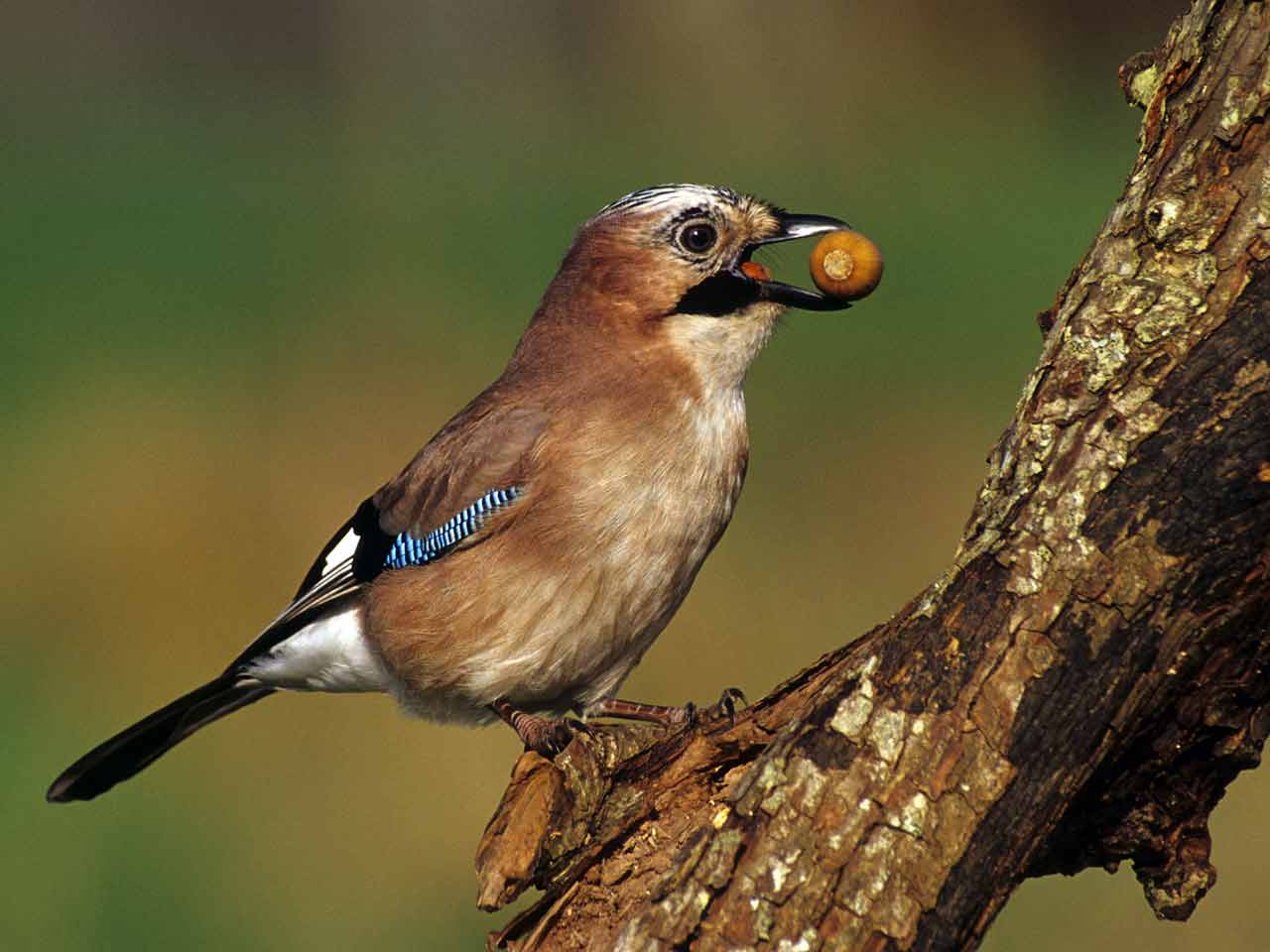 Jay collecting acorns