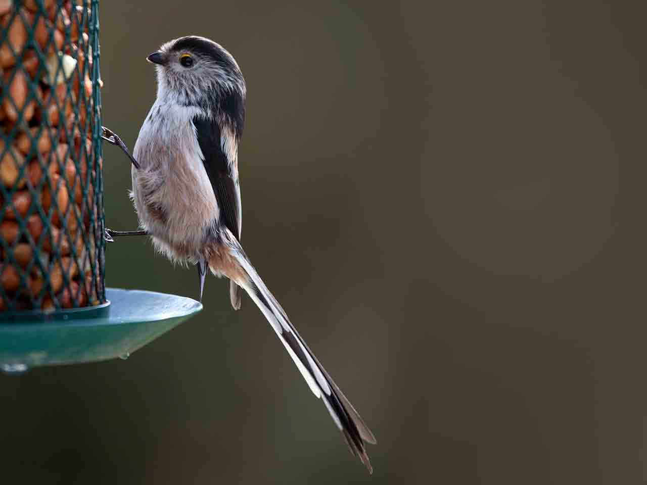 Long-tailed tit on peanut feeder