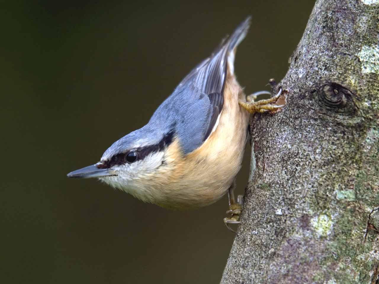 The Nuthatch Identification Plumage Habitat Saga