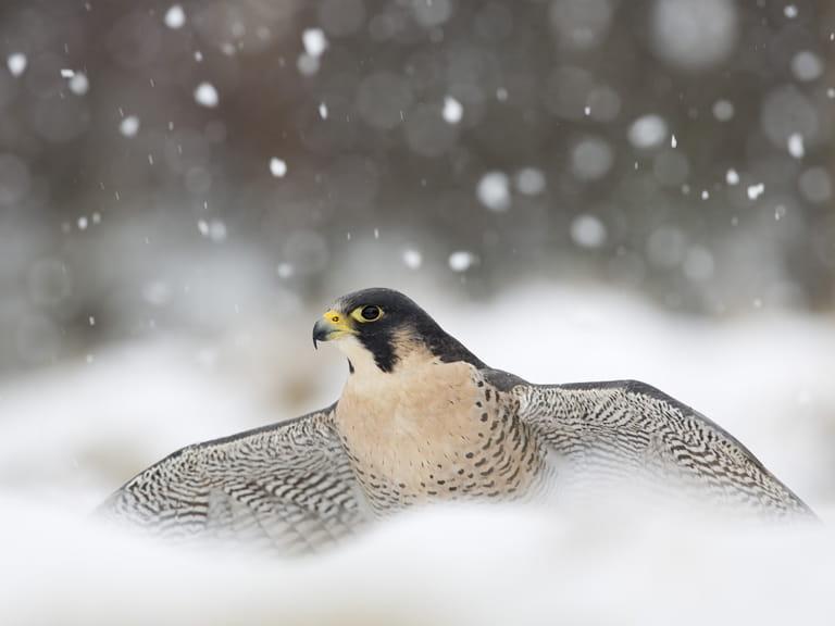 Peregrine Falcon Facts: Animals of North America - WorldAtlas.com