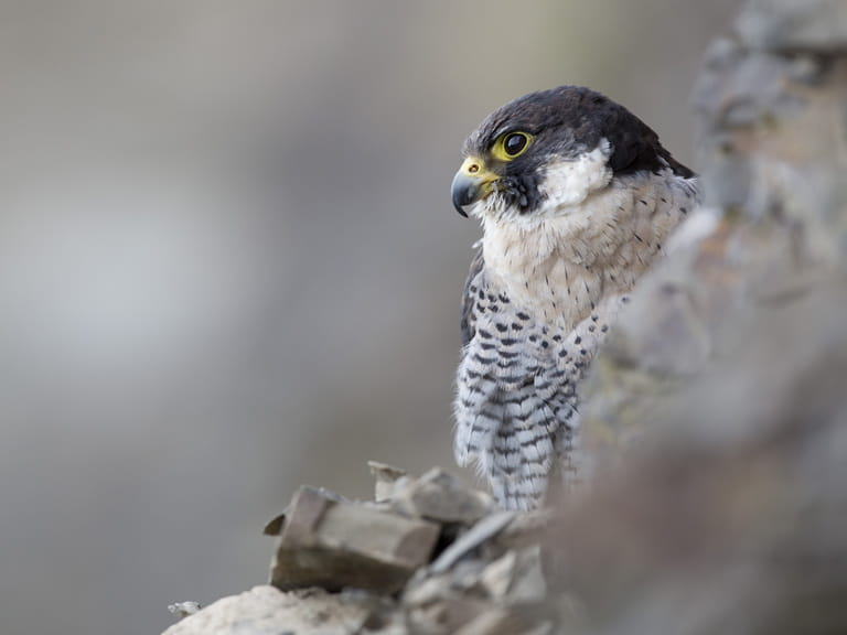Peregrine falcon photographed by David Chapman