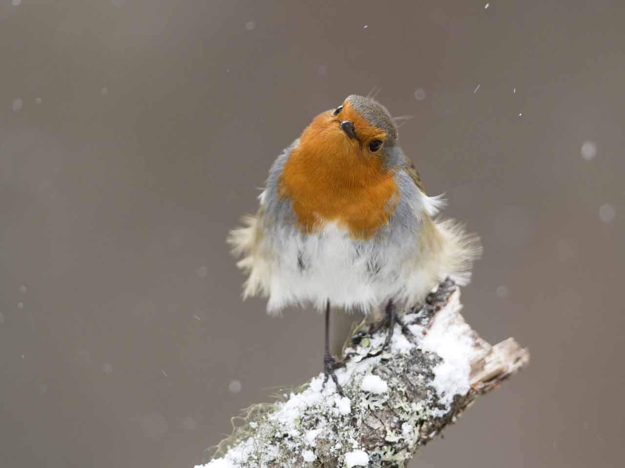 the history of the christmas robin saga