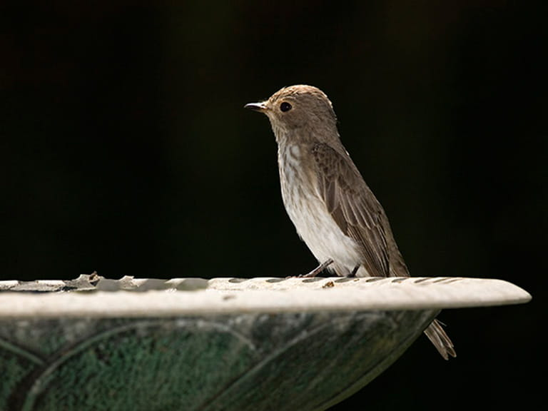 The spotted flycatcher © David Chapman
