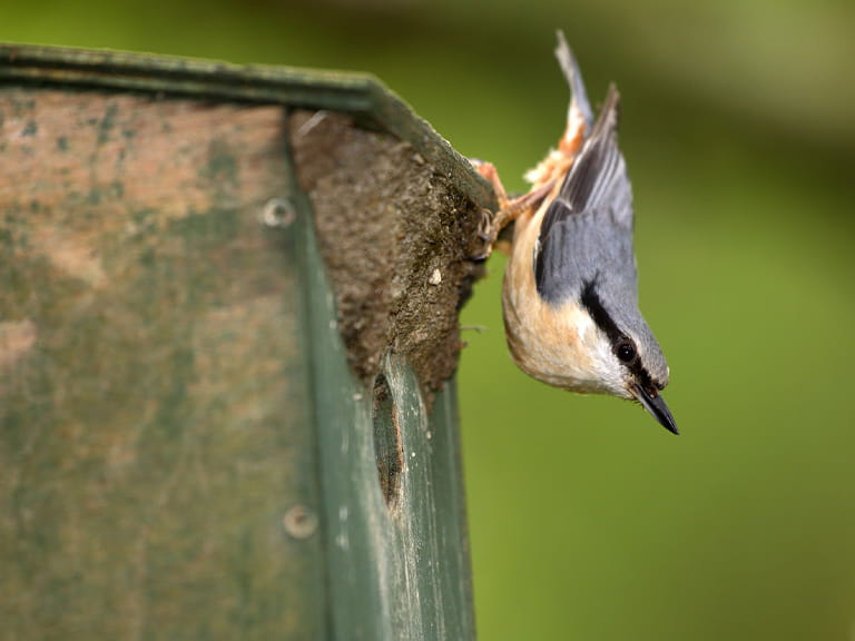 Nuthatch on a nest box