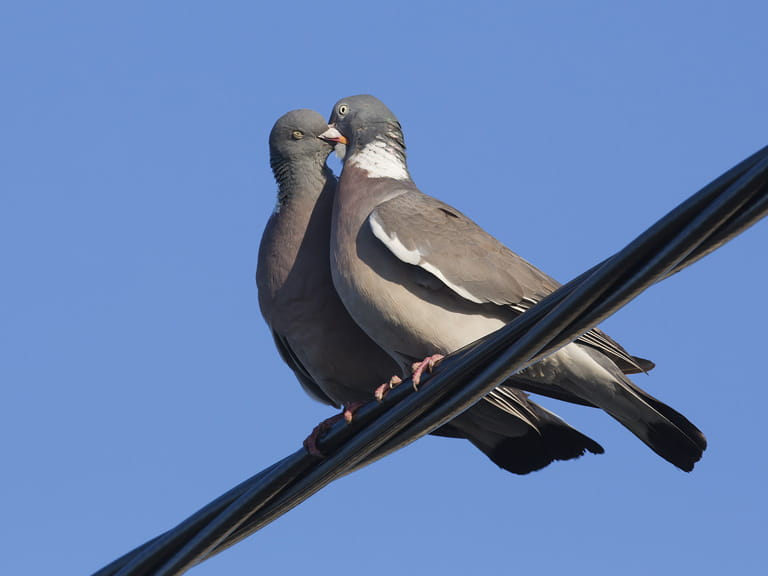 Male and female woodpigeons