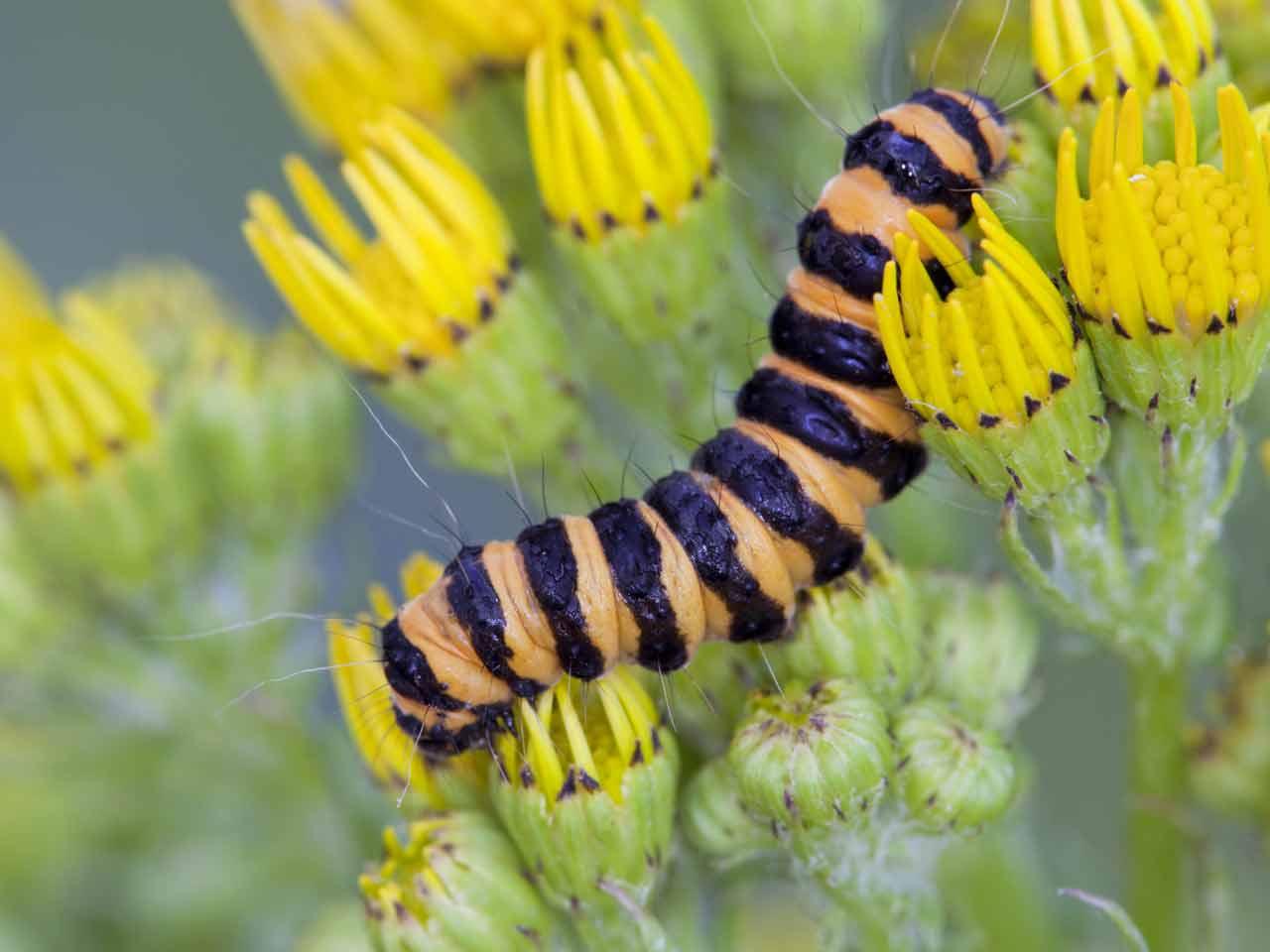 The Cinnabar Moth Caterpillar Lifespan Ragwort Saga