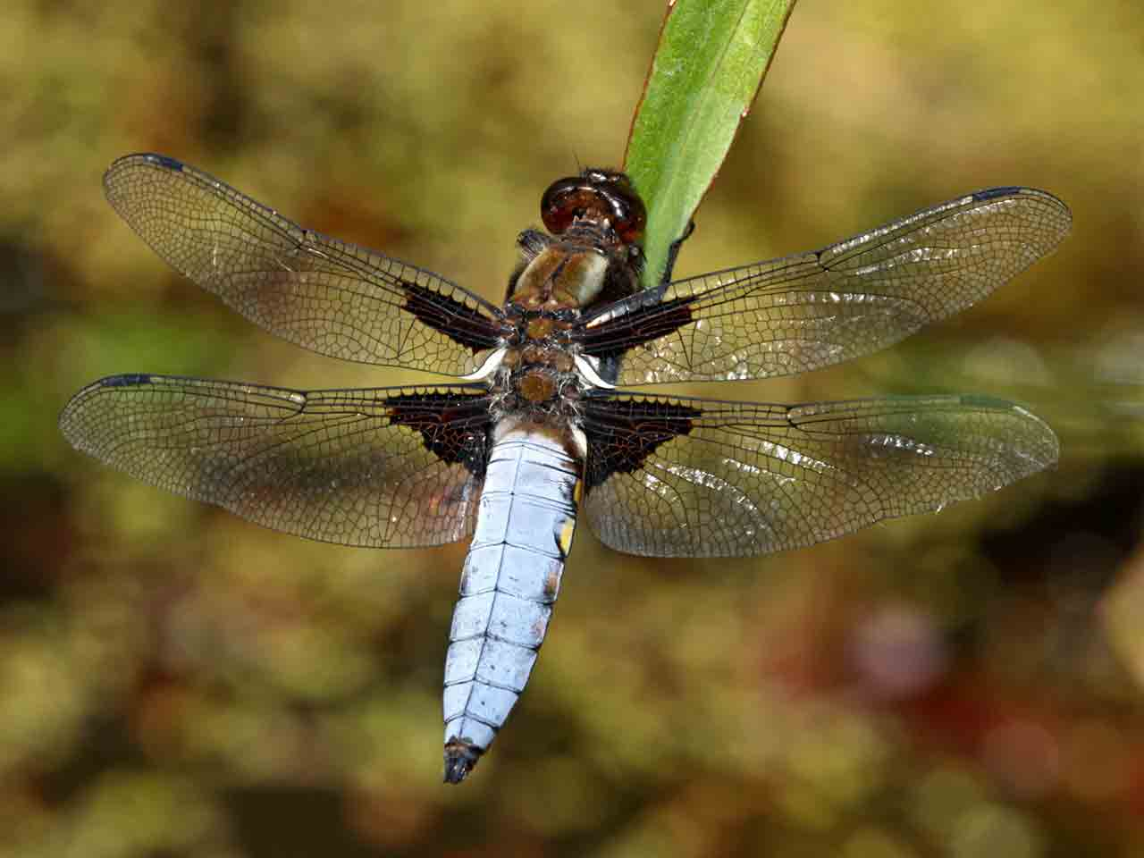 Broad-bodied dragonfly