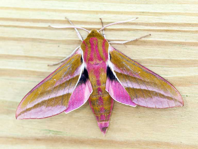 monster moth elephant hawkmoth and caterpillar saga