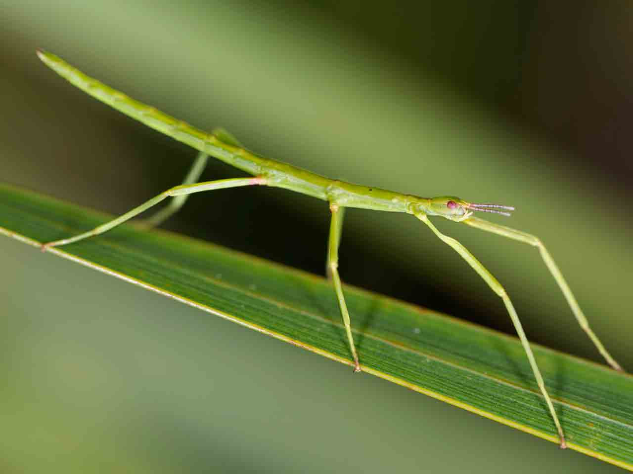 Unarmed stick insect