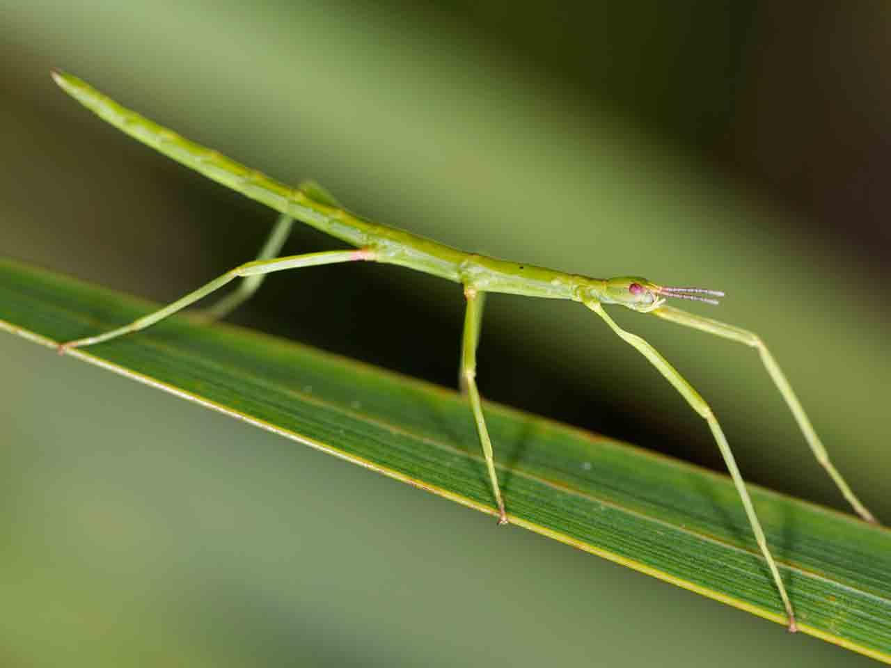 The Stick Insect Lifespan Life Cycle Common Varieties Saga