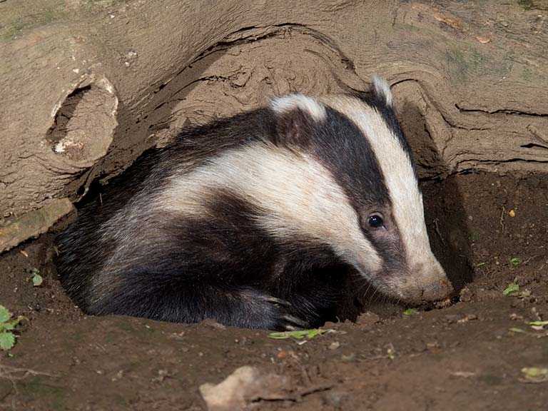 Badger about to go foraging © David Chapman