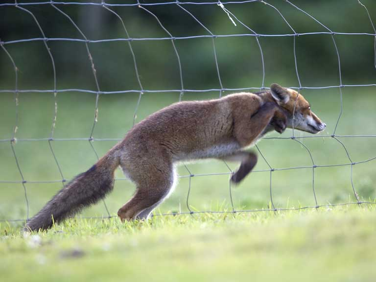 Foxes In The Garden Feeding Spotting Disease And