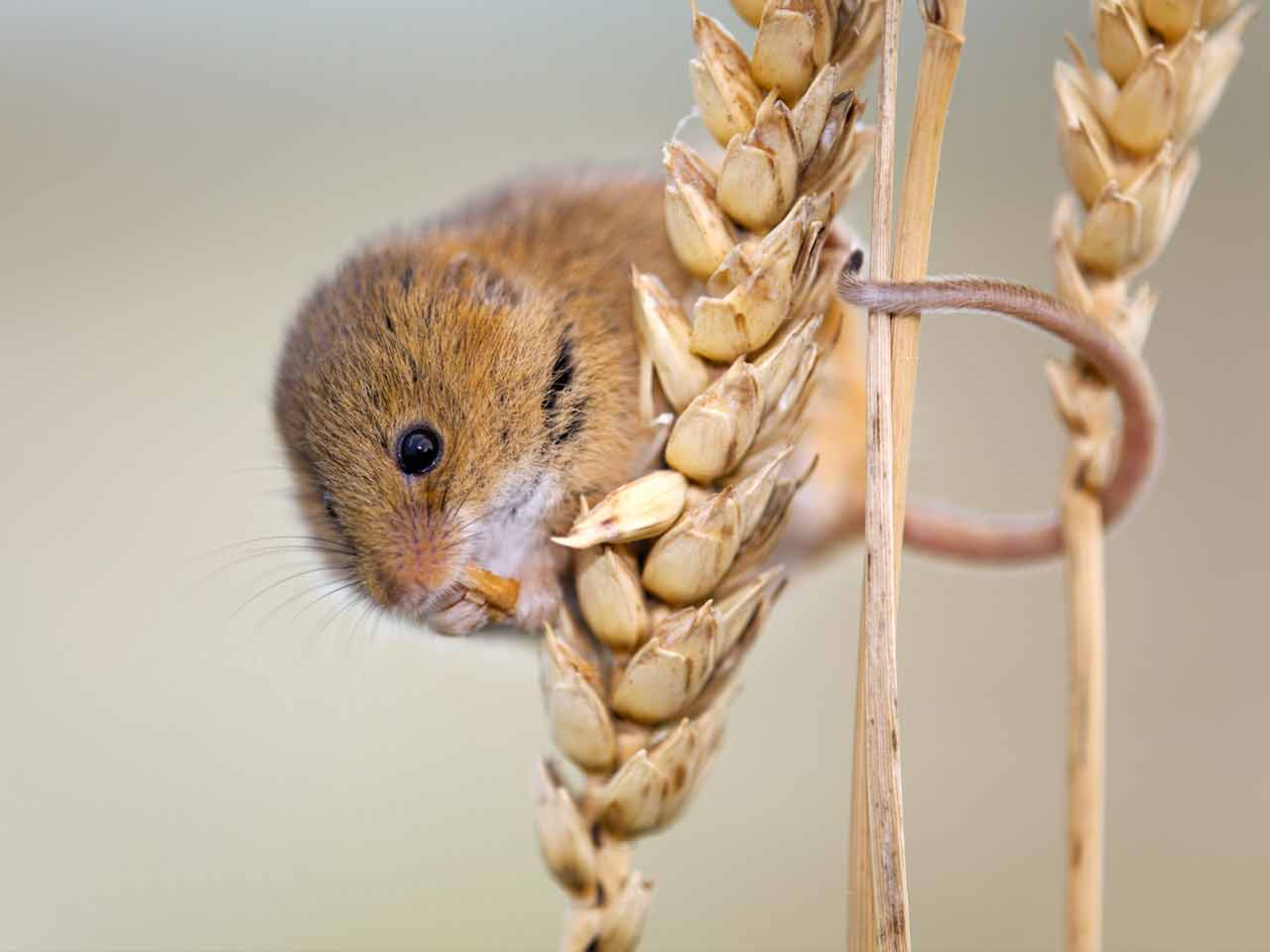 Harvest mouse photographed by David Chapman