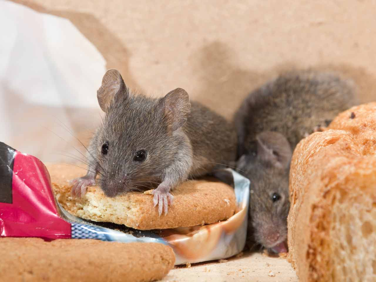The house mouse: locations, human-dependence & diet - Saga