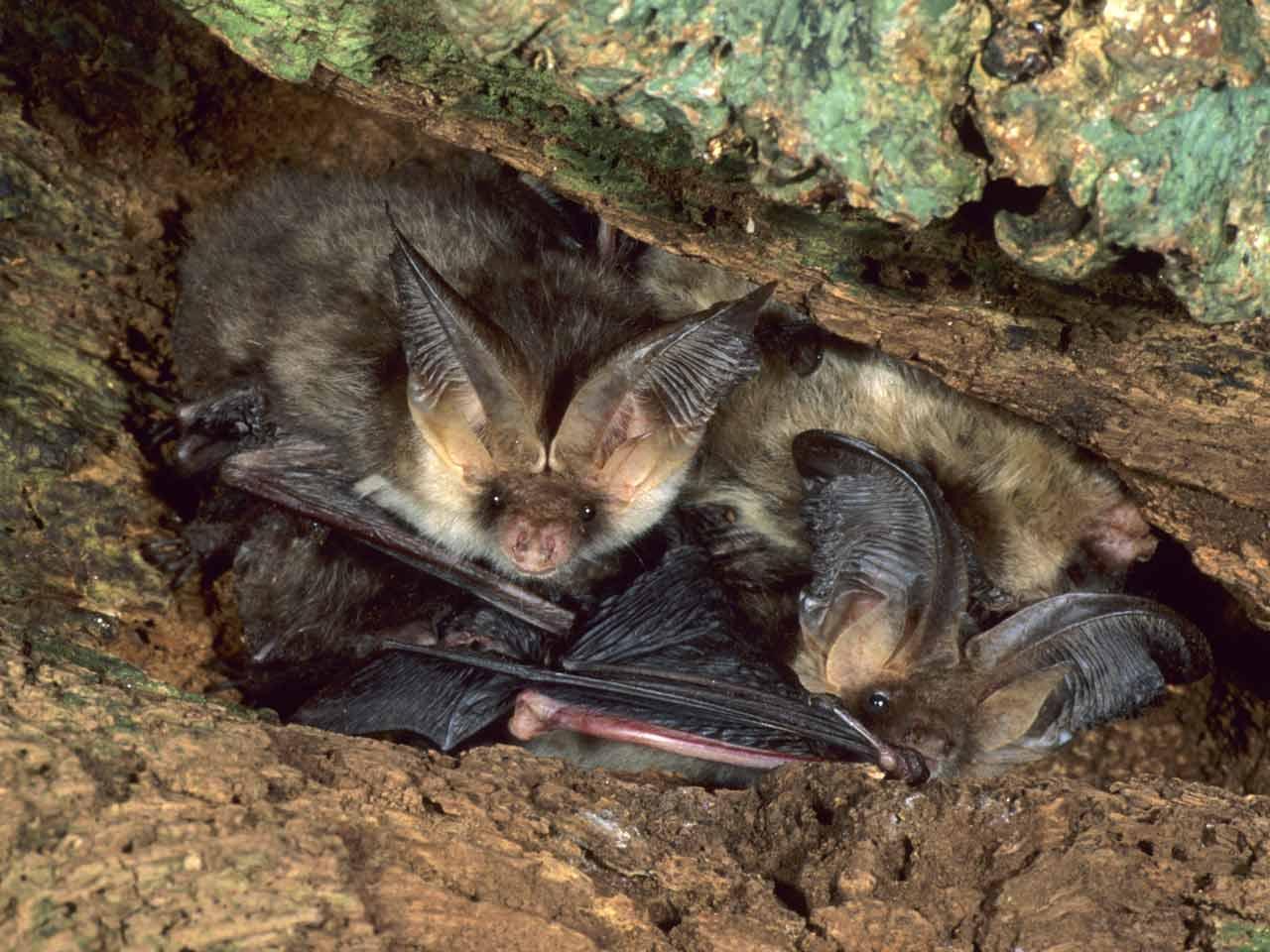 brown long eared bat diet echolocation behaviour saga